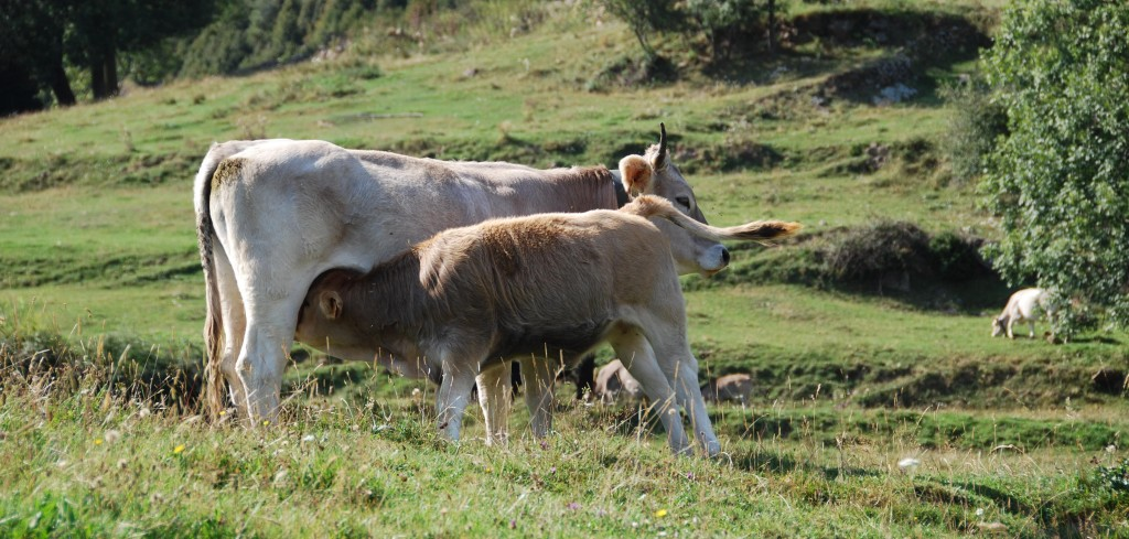 Ogassa ( vaques)
