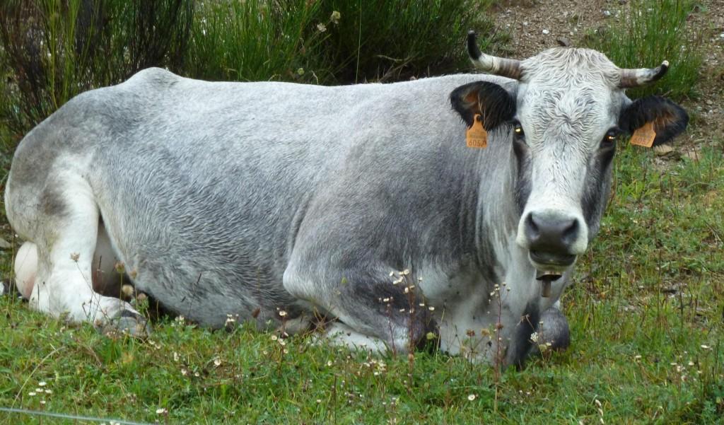 Rocabruna (Cavall i Vaques)
